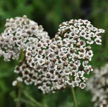 Achillea millefolium 'Hoffnung syn 'Great Expectations' closeup